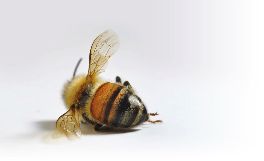 Loner Magazine - An overview: Why are bees dropping like flies?